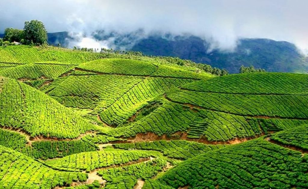 Особенность китайских видов чая и секреты заваривания