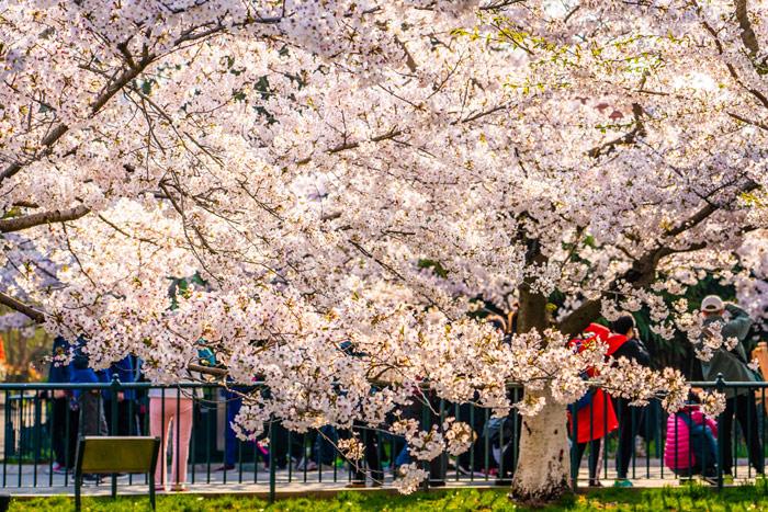 Десятка лучших мест в Китае для любования сакурой