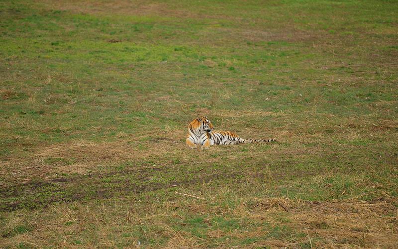 В Китае дикий сибирский тигр был выпущен на волю