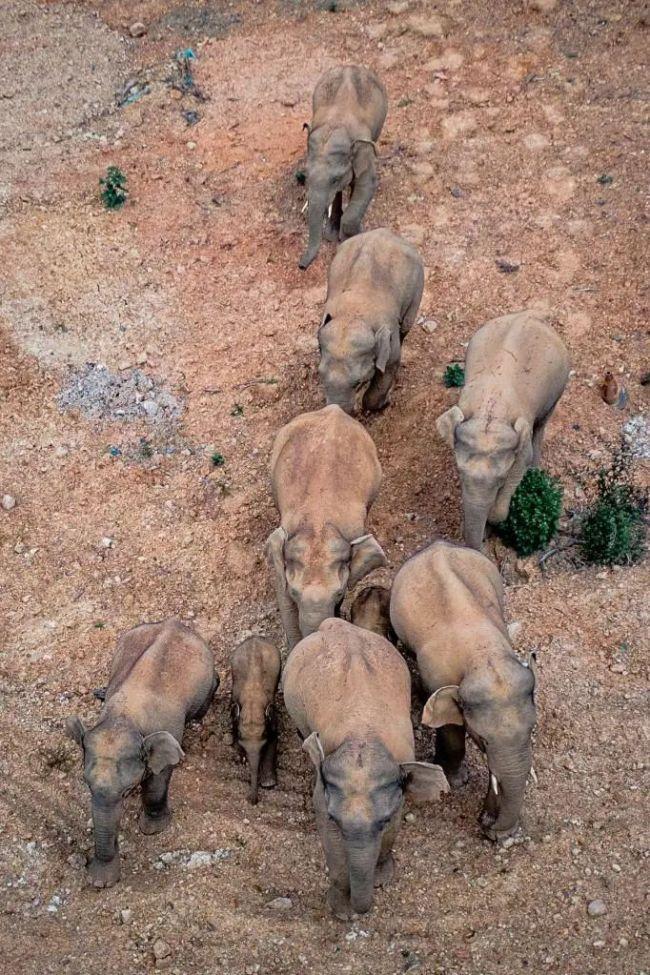 массовая миграция слонов