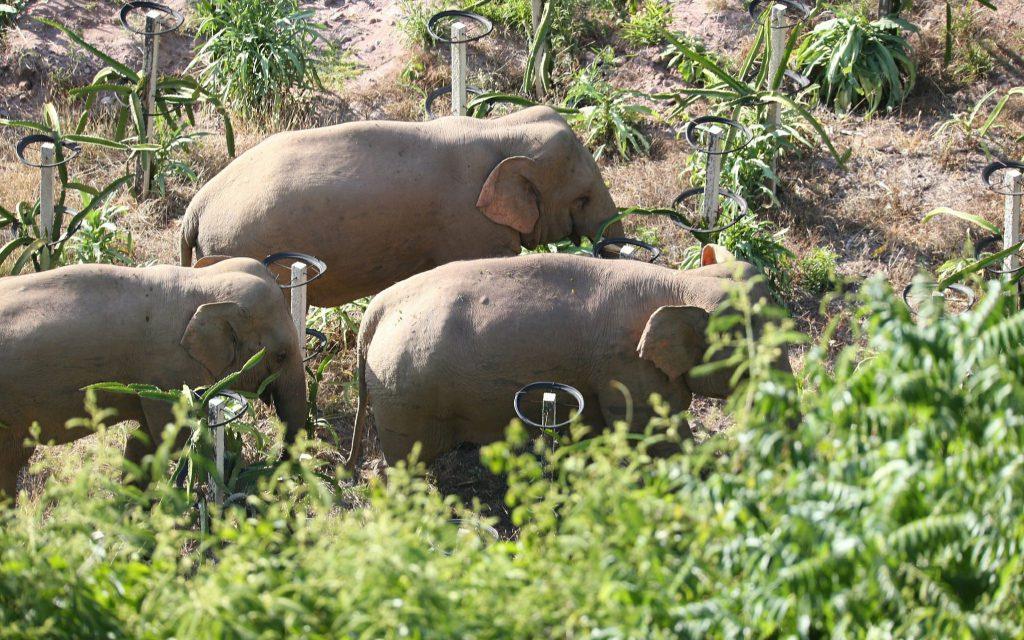 На юго-западе Китая решили перевести стадо азиатских слонов в подходящий район обитания