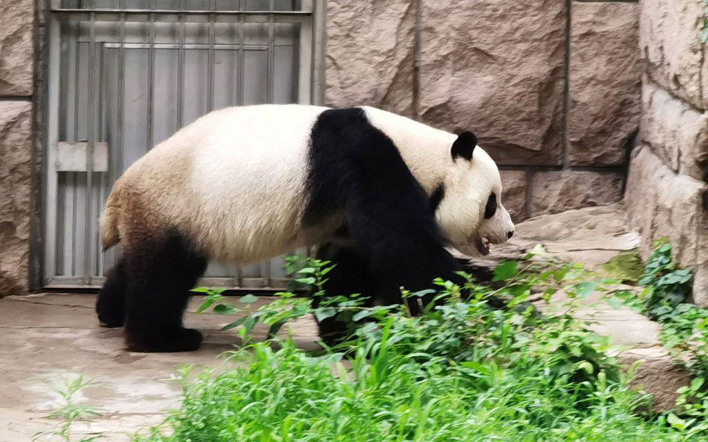 Китай продолжит охранять популяцию больших панд