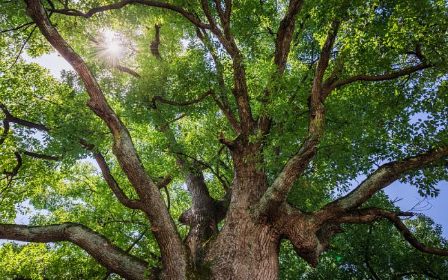 В Китае официально запретили пересаживать древние деревья