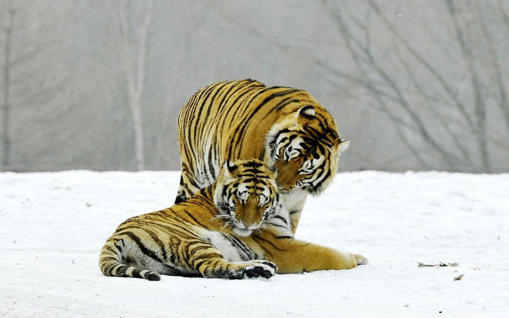 В национальном парке на северо-востоке Китая наблюдается стабильный рост численности популяций тигров и леопардов
