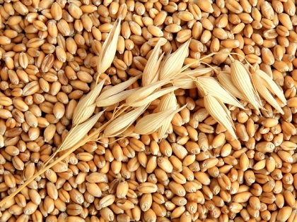 Большая часть экспортных поставок зерна в сентябре из Приморья направлена в КНР